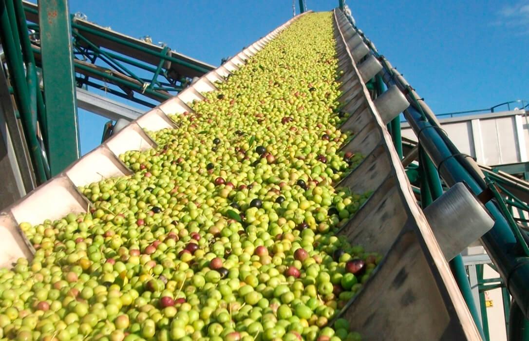 El aforo del aceite de oliva previsto por la Junta andaluza será de 1.055.300 toneladas, un 5,5% menos que la pasada campaña