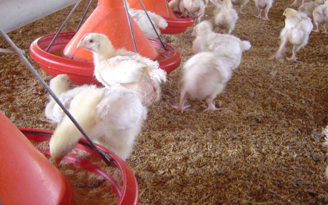 Tras la luz, ahora el gas: Su precio se ha multiplicado por cinco en un año y deja a las granjas de pollos en una situación límite