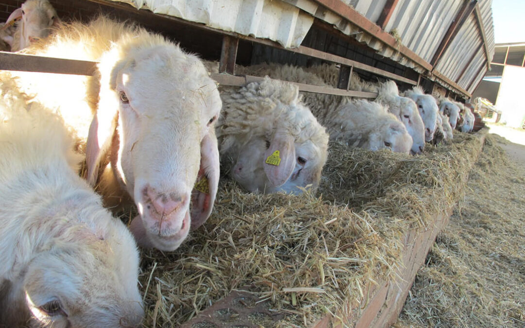 Se espera un repunte importante del precio de la leche de oveja, incluso por encima del precio acordado
