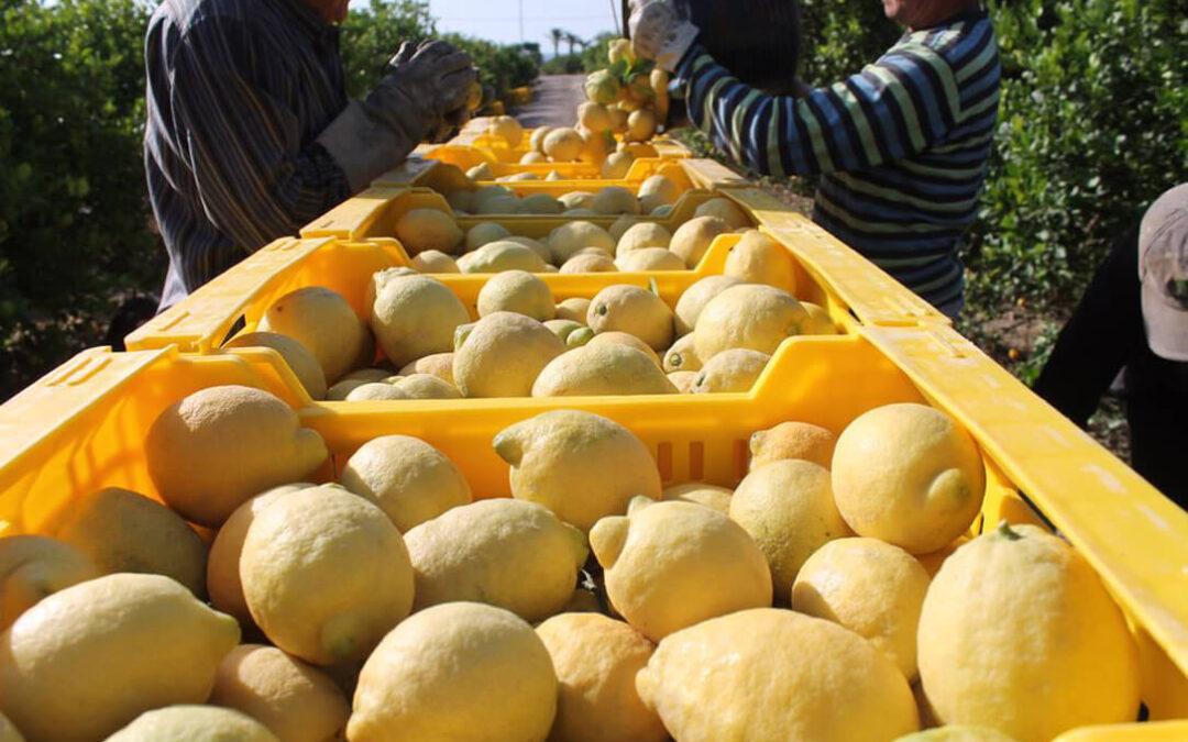 La campaña del limón en la Vega Baja se presenta con un descenso de producción del 50% y buenos precios en origen