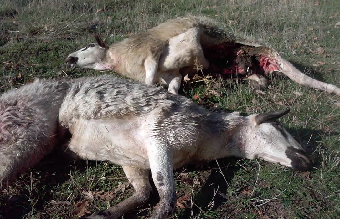 Teresa Ribera cumple su amenaza y aprueba la protección del lobo sin el respaldo del sector ganadero y de muchas CCAA