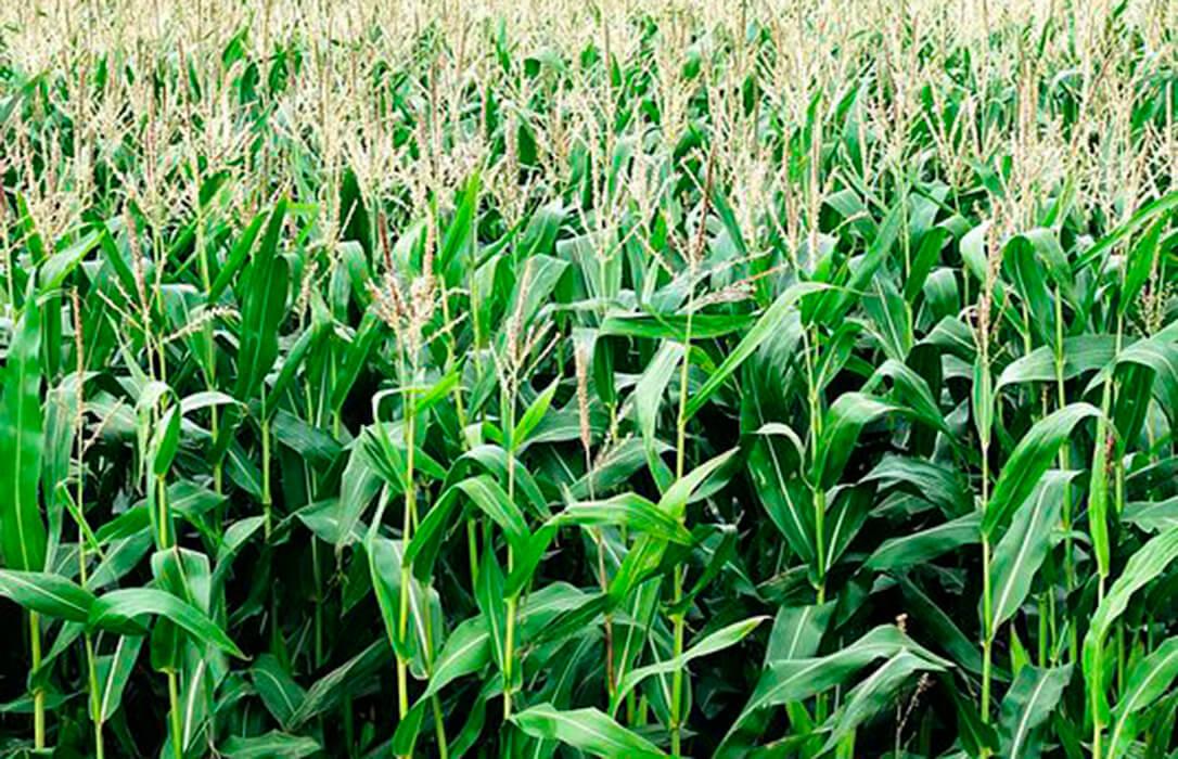 Hay claras razones por las que la rotación de cultivos perjudica más a los productores de maíz de León que de Europa