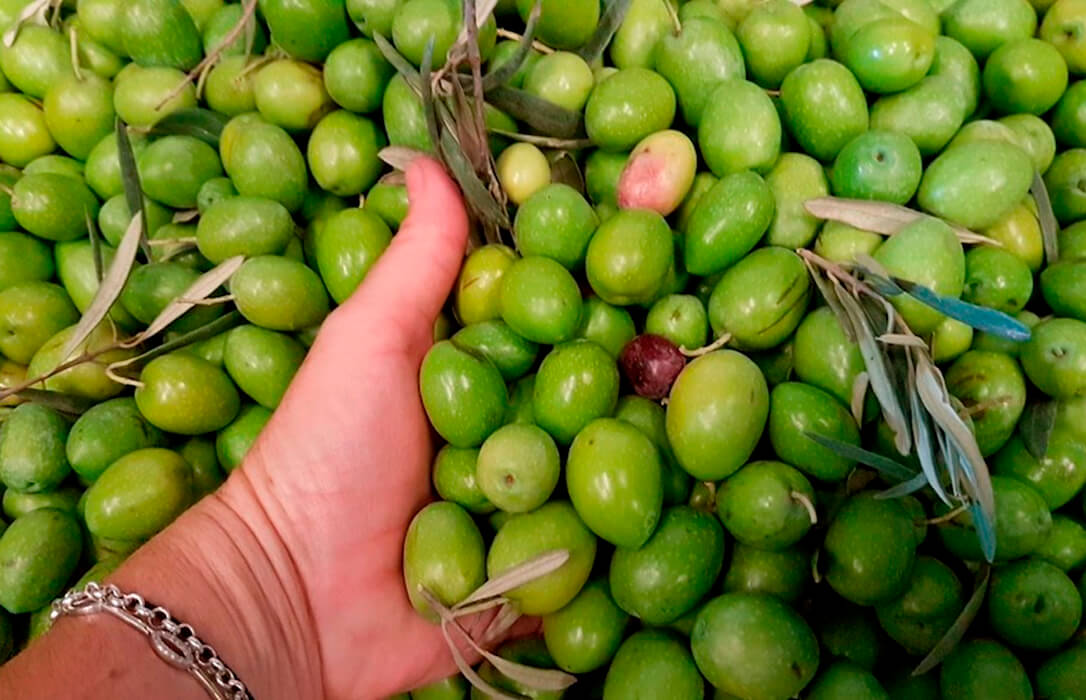 El Grupo Manzanilla Olive se convertirá en la mayor cooperativa de aceituna de mesa de Andalucía