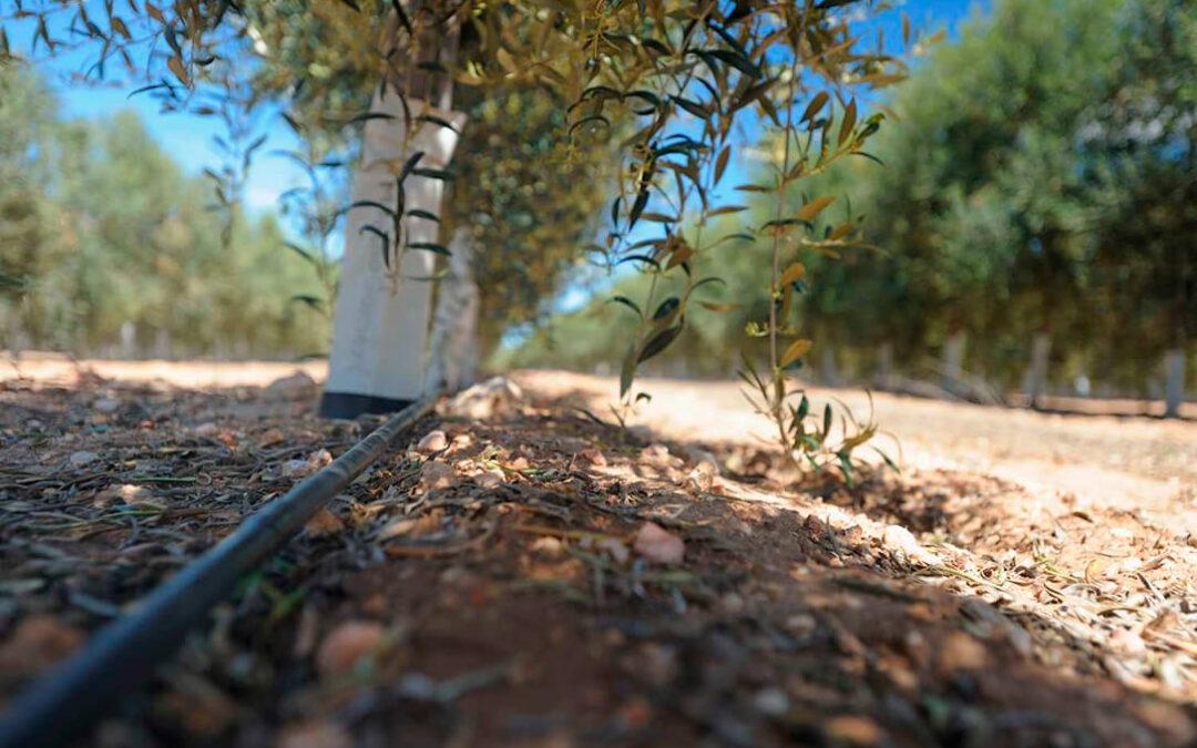 El olivar de regadío fija el triple de población al territorio que el olivar de secano
