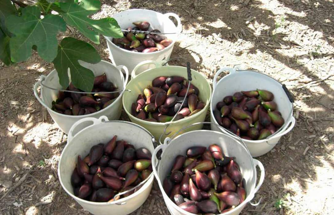 Reclaman una ayuda asociada de la PAC para los cultivos de granado, higuera y palmera datilera en suelos salinos