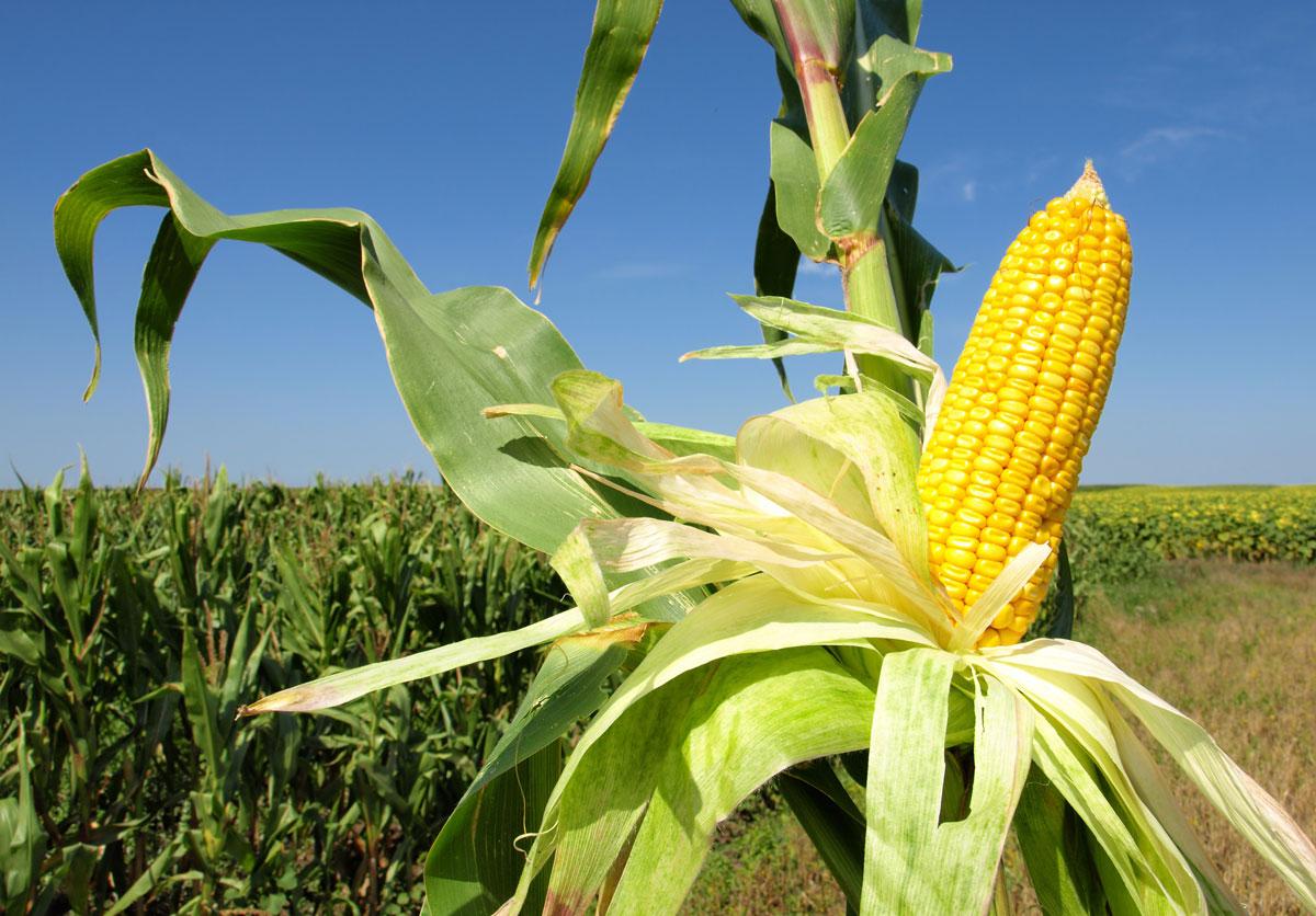 Los productores de maíz de León también se concentrarán ante el Ministerio en contra del Plan Estratégico de la PAC
