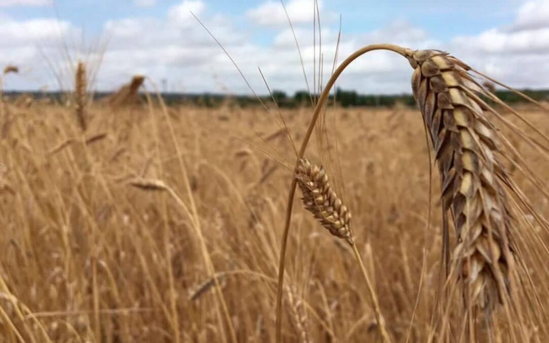 El recorte en la producción de trigo duro en Canada explica su subida mientras la oferta nacional rebaja el blando y las cebadas