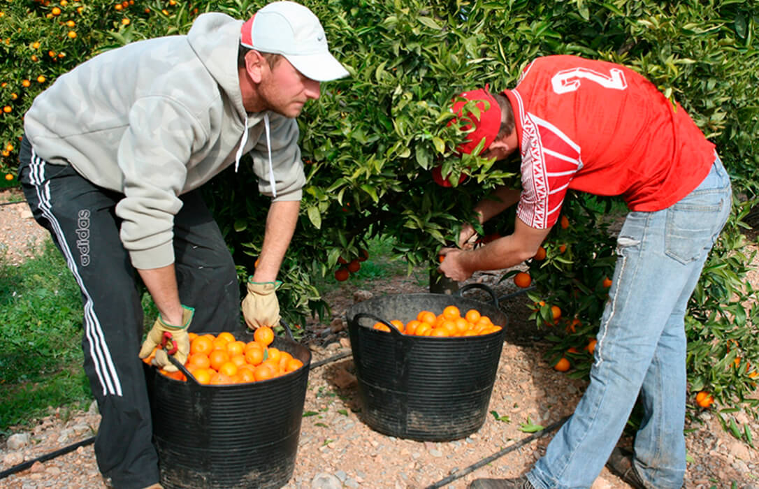 El descenso de casi un 5% en la producción nacional citrícola debe ayudar a que se ofrezcan «precios aceptables» en el campo