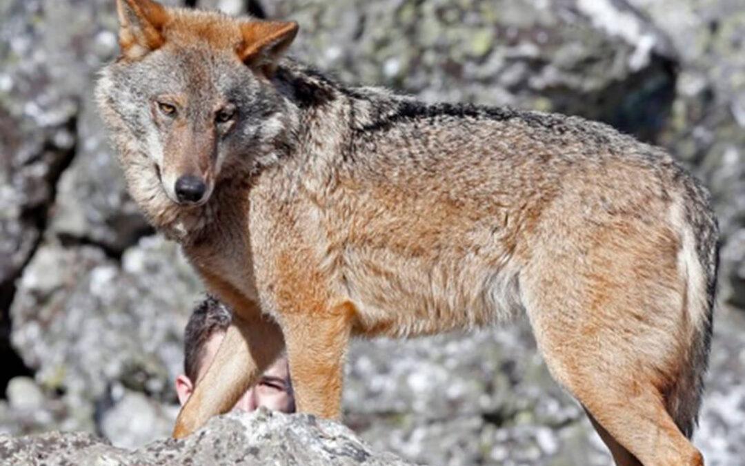 Las cuatro CCAA que aglutinan el 95% de las manadas de lobos recurren ante los tribunales para suspender su protección