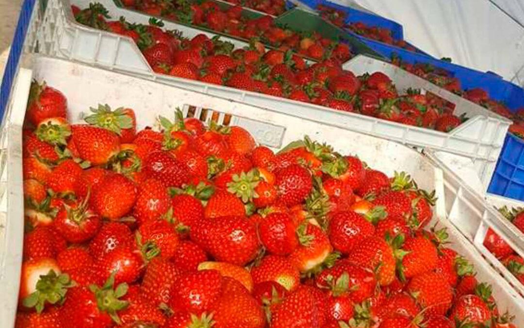 El sector de la fresa y los frutos rojos afronta la nueva campaña con el aumento de los costes producción en torno al 30%