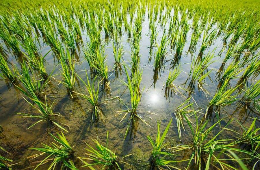 Presentada una querella por estafa por vender semilla defectuosa del arroz CLHL745 en Extremadura