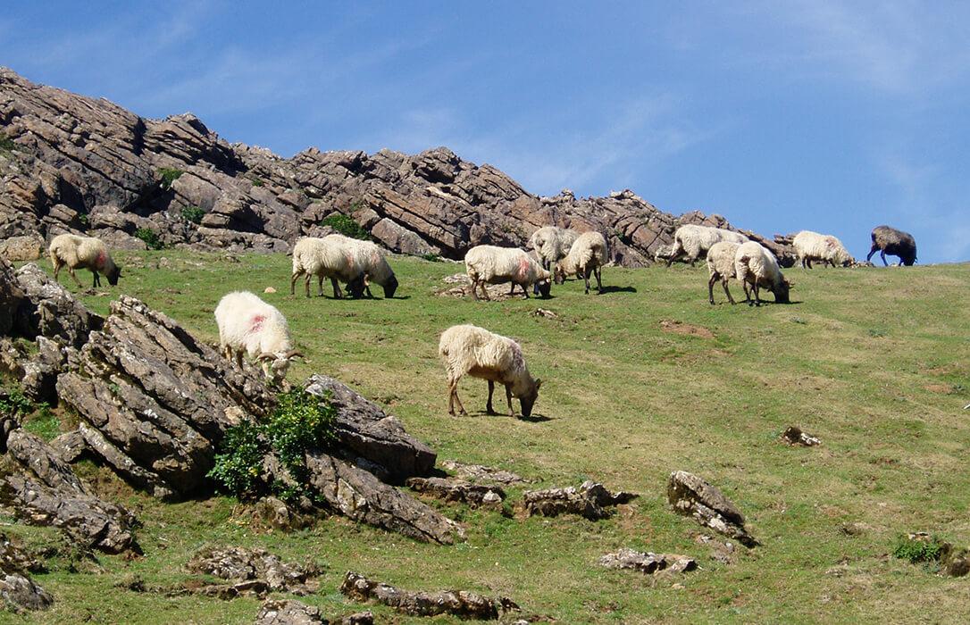 La 5ª edición de 'Territorios Pastoreados' aborda en Navarra los retos de la ganadería extensiva