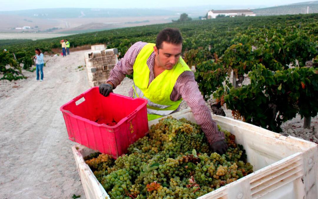 Finaliza la Vendimia más temprana en el Marco de Jerez, con un ligero aumento de la producción y excelente calidad de la uva
