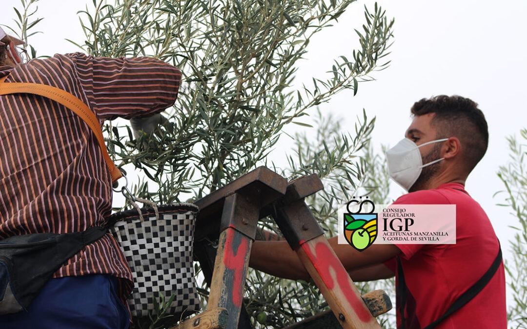 Comienza el verdeo de las Aceitunas Manzanilla y Gordal de Sevilla con cosecha más corta por la sequía y la ola de calor