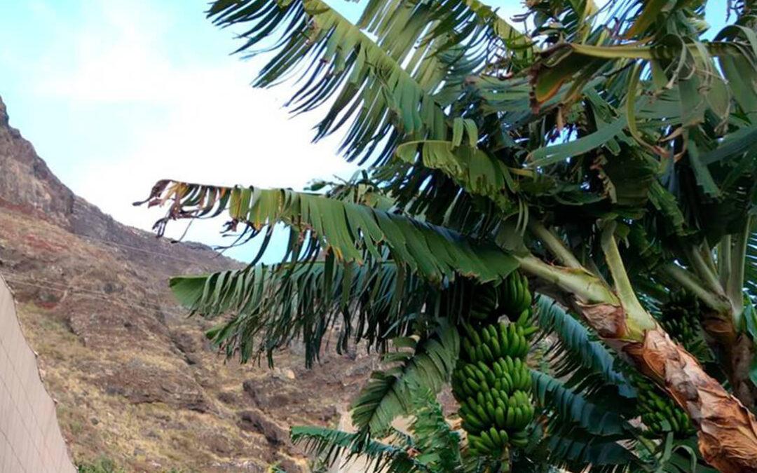 La ruina agraria del volcán: Infraestructuras de riego arrasadas, hectáreas sin poder recolectar o sepultadas y sin seguro que lo cubra