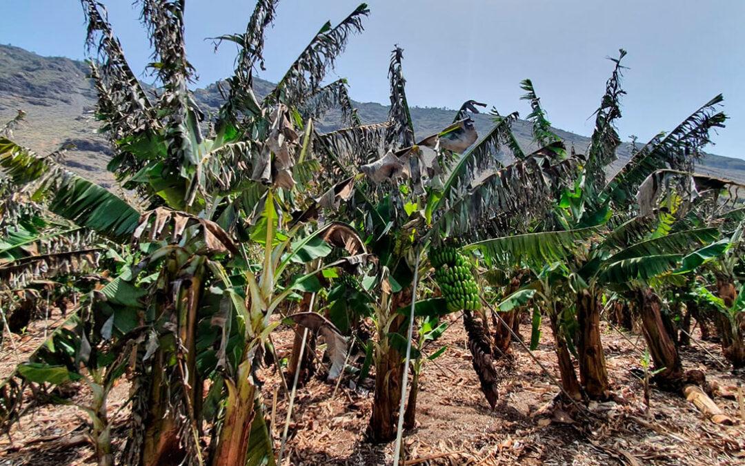 Adelantan el pago de indemnizaciones por la ola de calor y viento sufrida por los productores de plátano y aguacate de La Palma