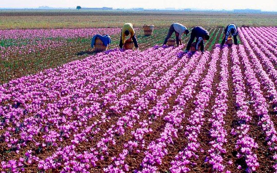 Buenas perspectivas para la campaña 2021 de Azafrán de La Mancha, que arrancará con un 18% más de superficie cultivada