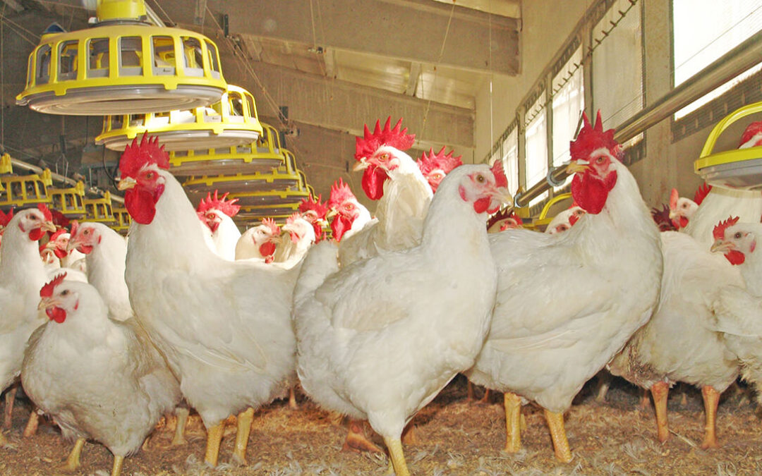 El sector avícola podría perder más de 300 millones por el incremento de costes de materias primas y subida de la luz