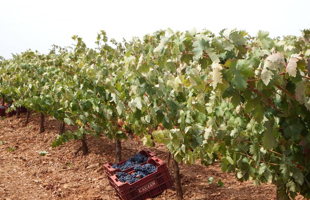 La sequía provoca la reducción del 20% de la cosecha de vino en Almería, que no alcanza el millón de litros