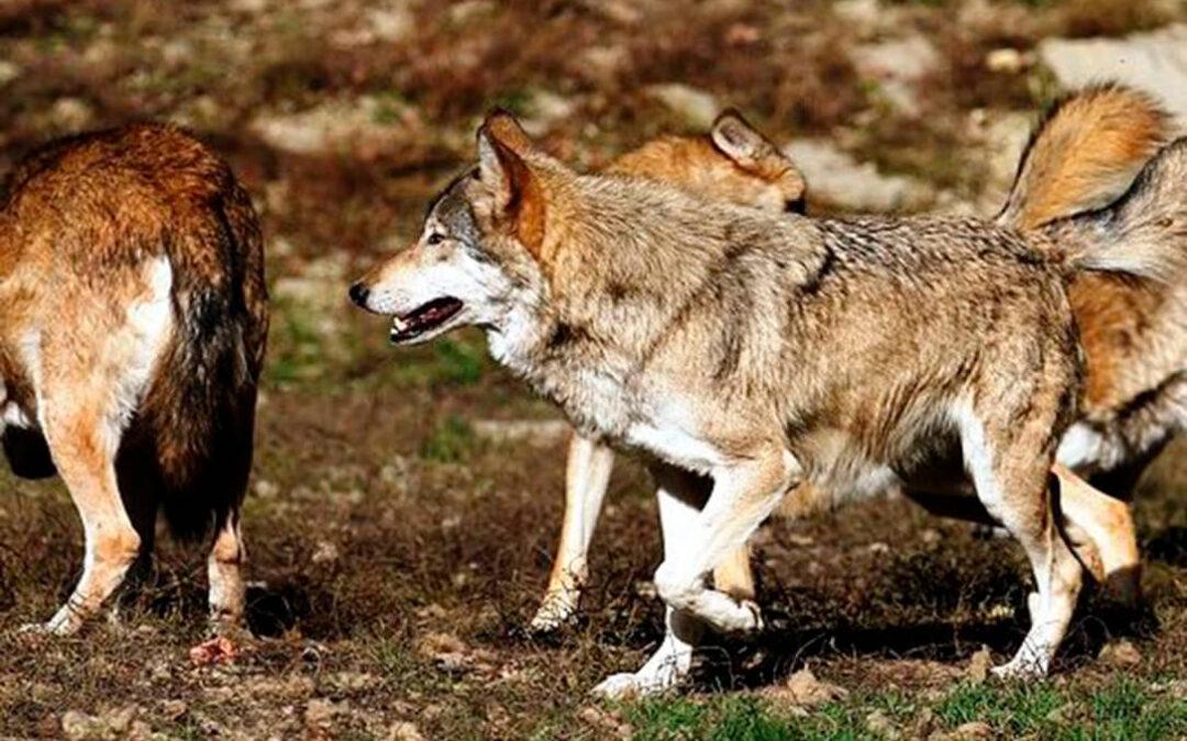 Problemática con el lobo: A la espera de que la Audiencia Nacional decida si toma medidas cautelares y frena su protección