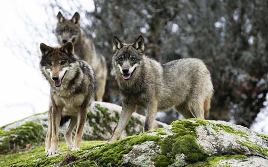 El MITECO se ampara ahora en una guía de la CE para justificar su protección del lobo ibérico