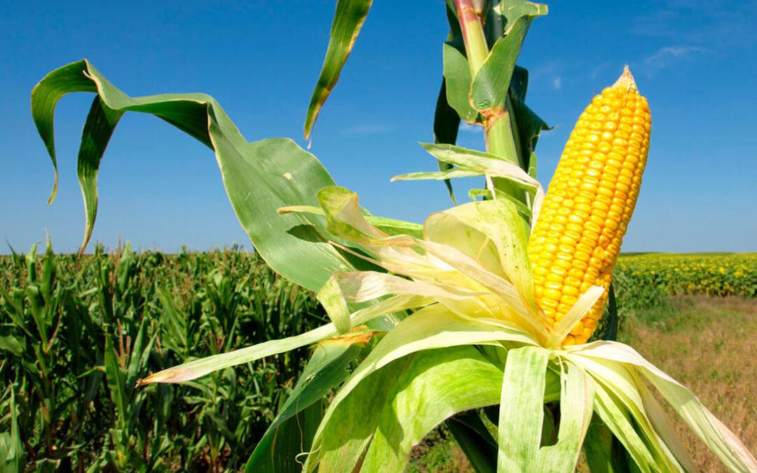 La lonja de León se suma al apoyo del cultivo del maíz y en contra de recortar las siembras por culpa de la nueva PAC