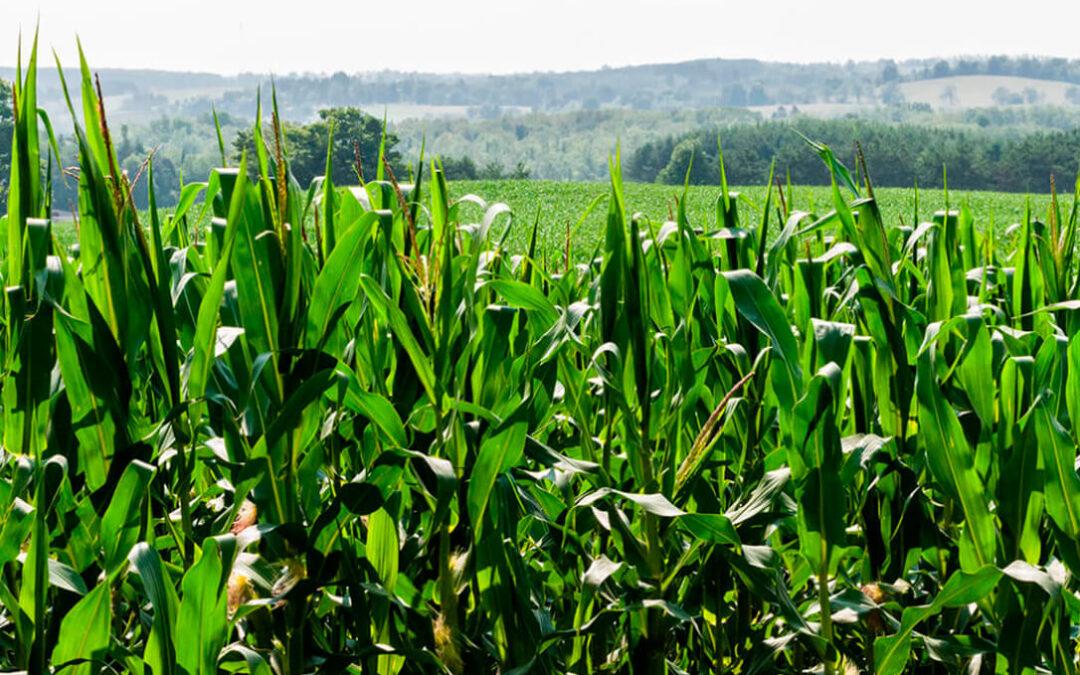 La Cámara Agraria Provincial de León muestra su apoyo al maíz y se suma a pedir su excepcionalidad dentro de la PAC