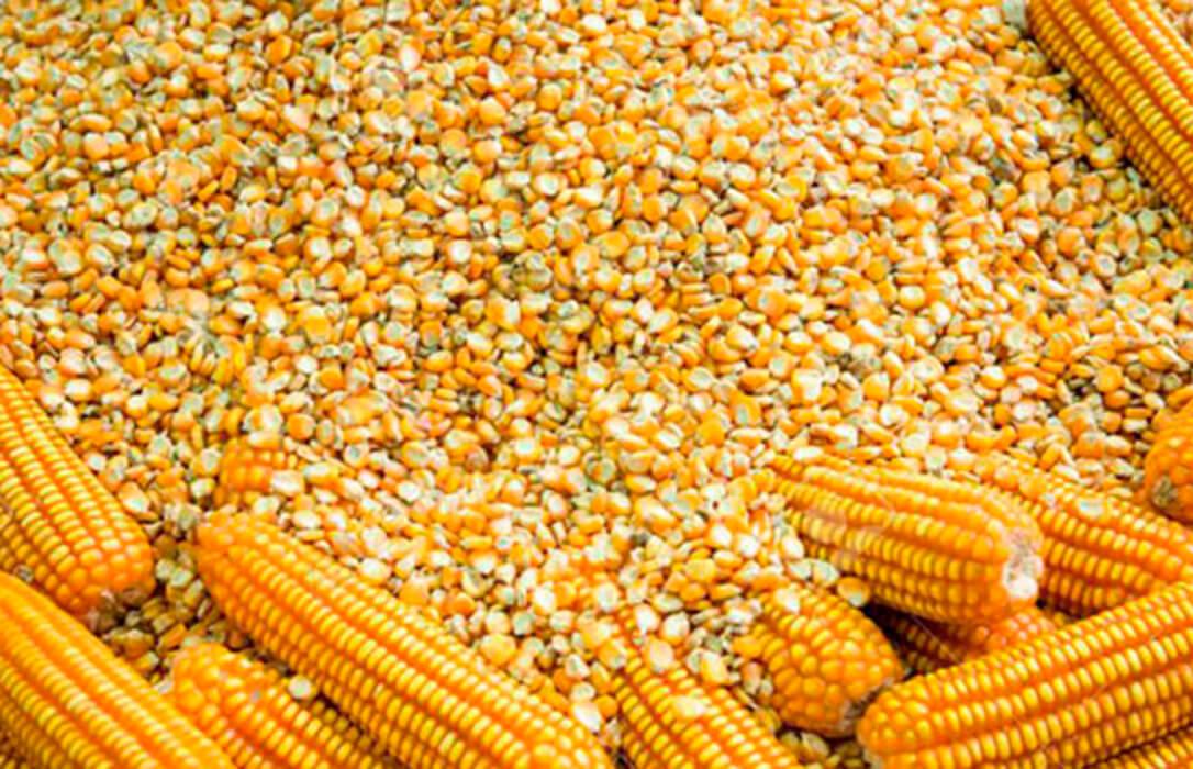 La incertidumbre por si la subida del cereal se prolongará o no hace que haya pocas transacciones y se aplace la cotización del maíz en León