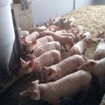 Se refuerzan las inspecciones en las explotaciones intensivas de porcino en Andalucía sobre bioseguridad, higiene, sanidad y bienestar