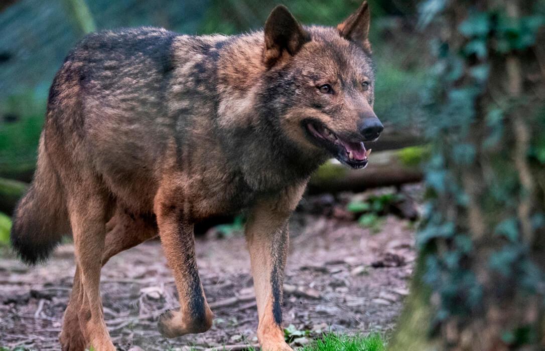 Polémica del lobo: Ribera insiste en la coexistencia y se ampara en un presupuesto de veinte millones para indemnizaciones y medidas preventivas